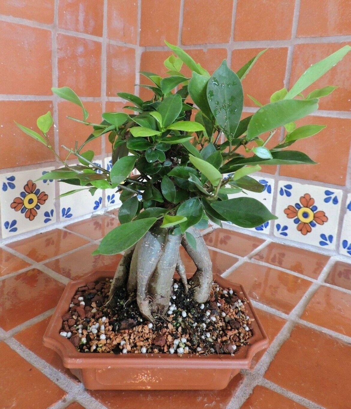 25cm Medium Ficus Ginseng Bonsai Tree Ginseng Ficus Tree For Sale Online
