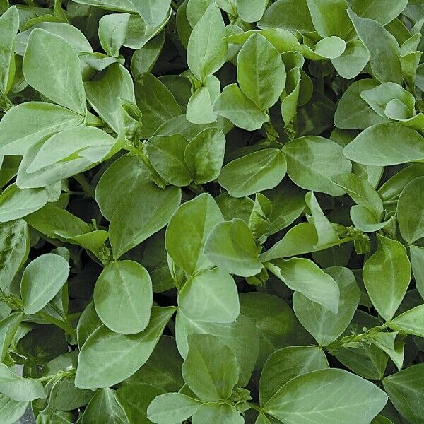 FIELD BEANS FOR GREEN MANURE 150g OF seeds COVERAGE 6 SQM