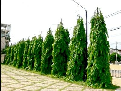 *UNCLE CHAN* SEED Polyalthia longifolia the ashoka tree Indian medicinal