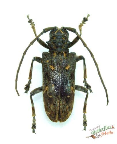 Phrynetopsis trituberculata Long horn beetle SET x 1 Tanzania Africa insect