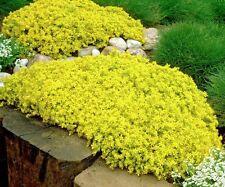 Sedum Golden Carpet 100 seeds *succulents excellent ground cover  CombSH D47