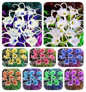 100 Pcs Seeds Rainbow Spider Lily Bonsai Flowers Plants Mix