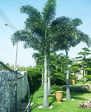 ~FOXTAIL SEEDS~ Palm Tree Wodyetia bifurcata 100 Fine Seeds from Hawaii