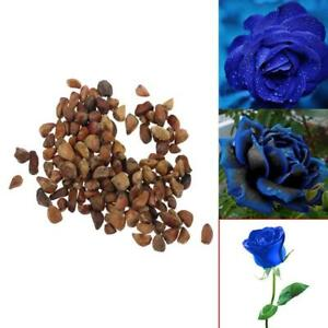 100-teile-beutel-Liebhaber-Blaue-Rose-Samen-Mitternacht-Samen-Gartendekor