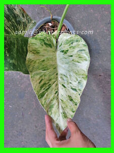 Image Is Loading Rare Philodendron 034 Elephant Ear Variegated Beautiful