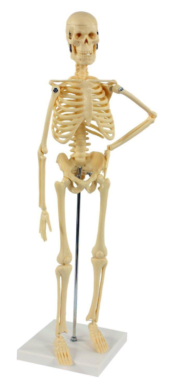 Esqueleto Humano 45 Cm Esqueleto Escritorio Articulado Con Trípode Montado NUEVO