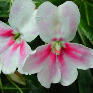 Rare-hot-pink-Impatiens-sodenii-039-Flash-039-Grows-7-feet-tall-Fresh-seeds