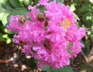 35 dark pink crepe crape myrtle lagerstroemia bush tree flower seeds image is loading 35 dark pink crepe crape myrtle lagerstroemia bush mightylinksfo
