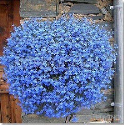 Flower-  40 Seeds Llinum Perenne Seed Flax blue Patio Garden Plants Flower