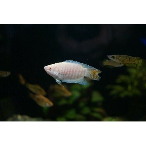 fwanabantoid1619022578 - (12) Albino Paradise Gourami  1.5'' *FREE SHIPPING