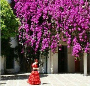 20 Purple Fairy Climbing Rose Seeds Usa Seller Ships
