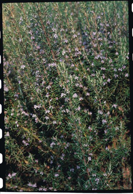Herb - Suffolk Herbs - Rosemary Seed - Rosmarinus officinalis - Pictorial Packet