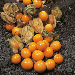 VEGETABLE-CAPE-GOOSEBERRY-PHYSALIS-PERUVIANA-0-3-GRAM-290-SEEDS