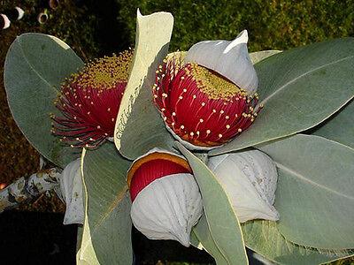 Mottlecah gum (Eucalyptus Macrocarpa) - 50 Fresh Seeds