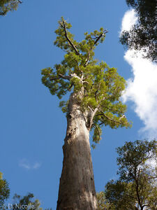 Jarrah Tree Eucalyptus Hardy Tree Bonsai Patio And Statement Tree Giant Tree Ebay