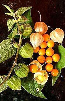 Physalis crassifolia 100 Seeds Desert Groundcherry #Fruit