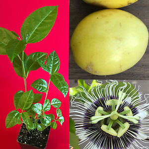 30 Fresh Passionfruit Fredericks Purple Vine Passiflora Edulis Fruit Seeds