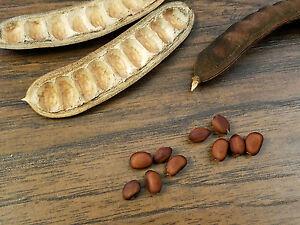 Ebony tree seeds
