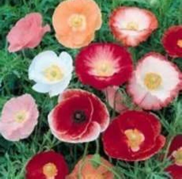 100 Shirley Poppy Flower Seeds Poppy Seed Red And Pink Mix Ebay