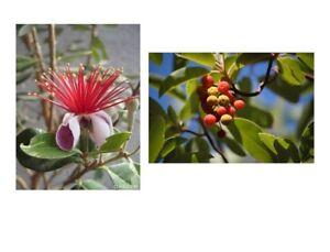Zwei bunte Obst Sorten im Samenset - Ananas - Guave und Erdbeerbaum - Obst.