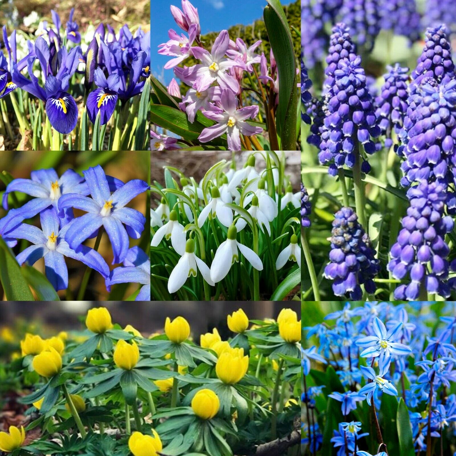 Early Flowering Bulbs Snowdrops Chionodoxa, Scilla Siberica, Aconites, Muscari,