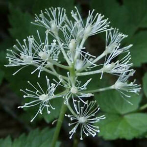 Red-Baneberry-Perennial-30-Seeds