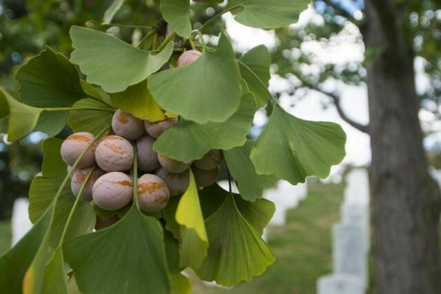 Maidenhair Tree, Ginkgo (Ginkgo biloba) 5 seeds