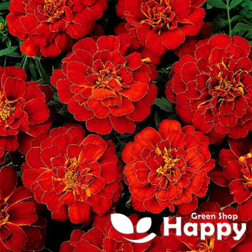 FLOWER Double Brocade Red 350 SEEDS FRENCH MARIGOLD Tagetes patula nana