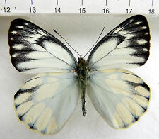 butterflies, Pieridae, Delias schoenigi ssp.schoenigi M, ex Mindanao, Phili n191