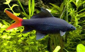 10 (dix) X Epalzeorhynchos Bicolor (rouge-queue Noir Requin, Labeo)