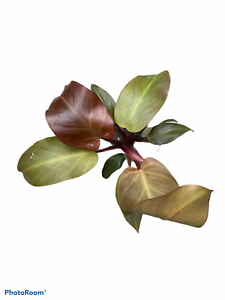 """Philodendron /'McColley/'s Finale/' beautiful colors! 4/"""" Pot"""
