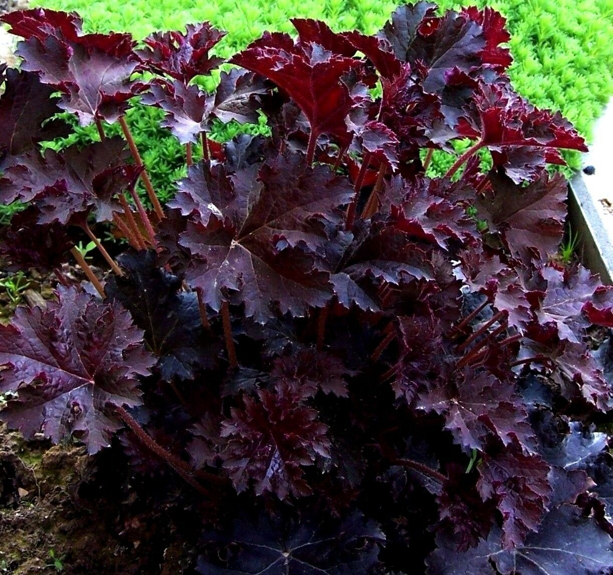 Emperors cloak coral bells heuchera red purple white flowers emperors cloak coral bells boast deep crimson purple foliage starkly contrasting white flowers plants are extremely hardy perennials tolerant of drought mightylinksfo