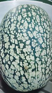 Calabaza Cabello De Angel - ( 40 Semillas Frescas ) - Cidra Facile à Lubrifier