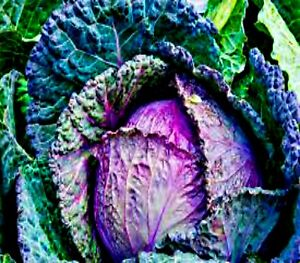 Cabbage Savoy 100 Seeds Verona Purple Italian Heritage Vegetable Seeds Ebay