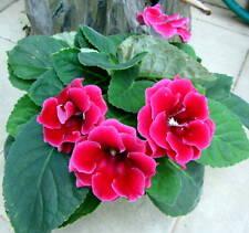 Gloxinia Seeds  Speciosa Bonsai Balcony Flower  Mixed color, 100 seeds