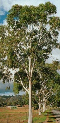 Lemon Eucalyptus Seeds Corymbia citriodora Gum Tree Seeds 50,100,250,1000