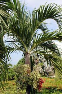 das bild wird geladen palmen samen weihnachts palme zimmerpalme exot immergruen