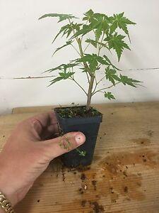 Japanese Maple Acer Palmatum Pre Bonsai Seedling Stock 2 14