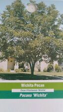 WICHITA PECAN TREE Shade Trees Live Healthy Plant Large Pecans Nuts Wood Garden