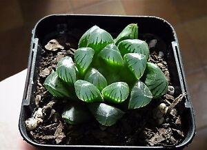 Haworthia-cooperi-v-pilifera-Succulent-x-1