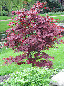 roter f cher ahorn acer palmatum atropurpureum 40 60 cm ebay. Black Bedroom Furniture Sets. Home Design Ideas