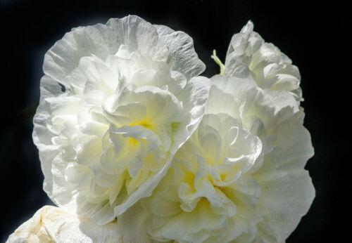 50 Dwarf Double HOLLYHOCK MAJORETTE MIX Alcea Rosea Red Pink White Flower Seeds