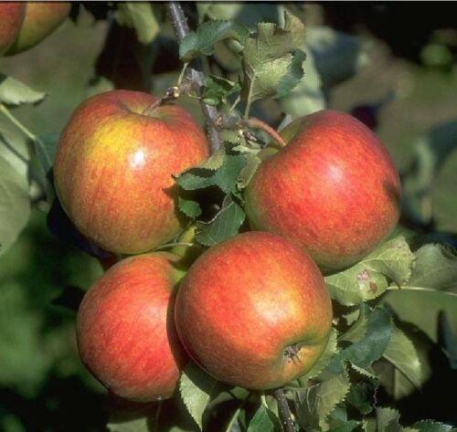 Apfelbaum Jonagold Apfel Obstbaum Pflanze 120-150 cm Niedrigstamm süß saftig