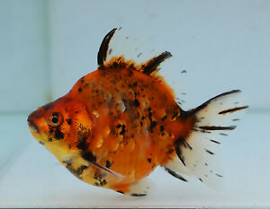 Details About Fancy Goldfish 10 5cm High Back Calico Ryukin Courier Available 8