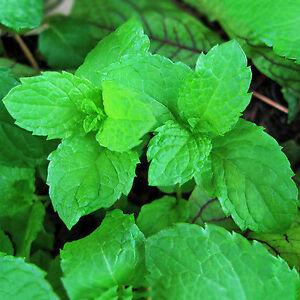 500pcs-Spearmint-Mint-Mentha-Herb-Green-Flower-Seeds-Home-Decor