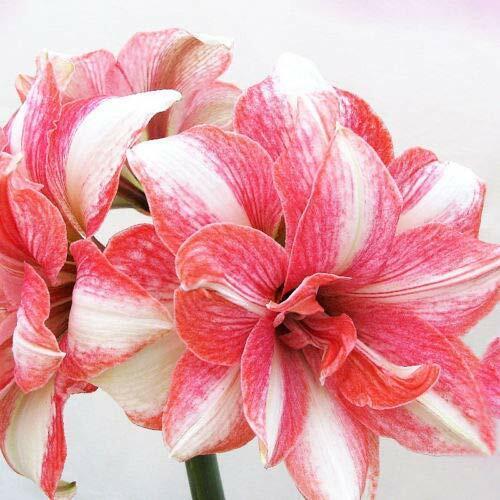 Amaryllis Bulbs Flowers Double Hippeastrum Rare Perennial Resistant Rainbow Gift
