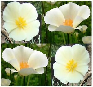 600 california poppy flower seeds white linen eschscholzia image is loading 600 california poppy flower seeds white linen eschscholzia mightylinksfo