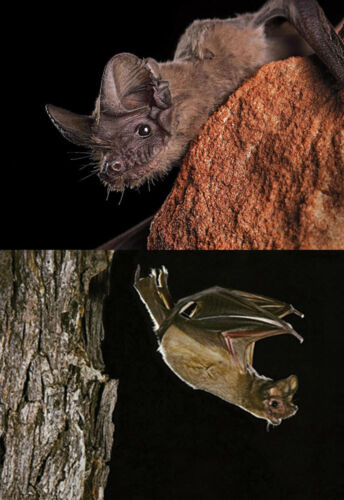 Mexican Free-Tailed BAT 3D and Motion Lenticular Postcard Greeting Card