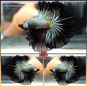 Live Betta Fish Male -PREMIUM- Fancy Black Orchid Dragon Halfmoon #V637