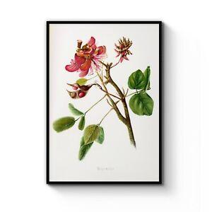 Vintage-Red-Wiliwili-Flower-Botanical-Drawing-Art-Print-Poster-Choose-Size-Frame